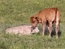 新出生的小牛 免版税库存图片