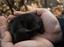 新出生的小狗在人的手上 睡觉的狗婴孩 图库摄影
