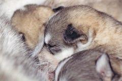 新出生的小狗西伯利亚爱斯基摩人 库存照片