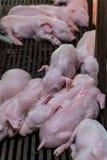 新出生的小猪说谎的挤作一团为温暖 库存图片