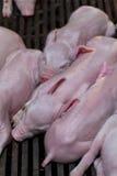 新出生的小猪说谎的挤作一团为温暖 库存照片