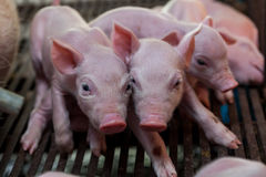新出生的小猪说谎的挤作一团为温暖 免版税图库摄影