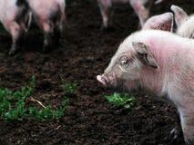 新出生的小猪 免版税库存图片