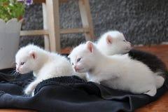 新出生的小猫 免版税库存照片