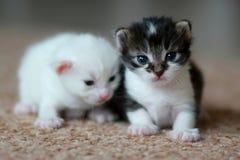 新出生的小猫 免版税库存图片