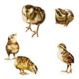 新出生的小鸡用不同的姿势 免版税库存图片