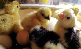新出生的小鸡 免版税图库摄影