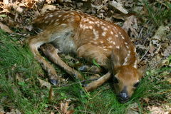 新出生的小鹿 免版税库存图片