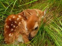新出生的小鹿 库存照片