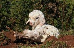新出生的山羊 图库摄影