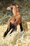 新出生的山羊 免版税库存照片