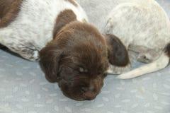 新出生的德国短毛指针小狗 库存图片