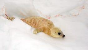 新出生的格陵兰海豹小狗 免版税库存图片