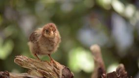 新出生的棕色小鸡 影视素材