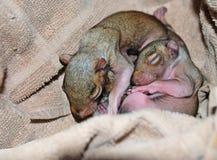 新出生的灰鼠 免版税图库摄影