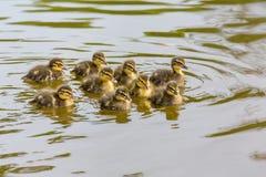 新出生的狂放的鸭子游泳在水中 免版税图库摄影