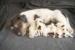 新出生的狗小狗- 8天年纪-杰克罗素狗小狗 免版税库存图片