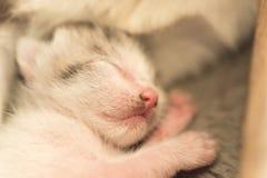 新出生的猫睡眠 免版税库存照片