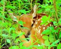新出生的白尾鹿小鹿 库存图片