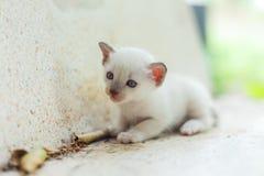 新出生的白色猫 免版税库存图片