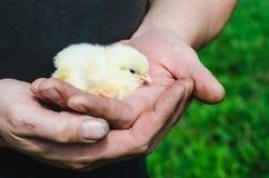 新出生的白色鸡在一位农夫的概略和肮脏的手上反对绿草背景的  免版税库存照片