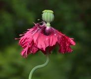 新出生的罂粟种子胶囊 免版税库存图片