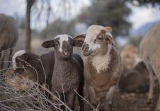 新出生的羊羔在冬天 库存照片