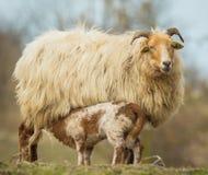 新出生的羊羔 免版税库存照片