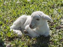 新出生的羊羔 免版税图库摄影