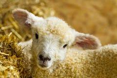 新出生的羊羔 图库摄影