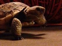 新出生的草龟 免版税库存照片