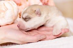 新出生的西伯利亚爱斯基摩人小狗 库存照片