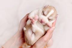 新出生的西伯利亚爱斯基摩人小狗 库存图片