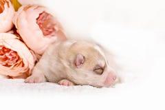 新出生的西伯利亚爱斯基摩人小狗 免版税库存图片