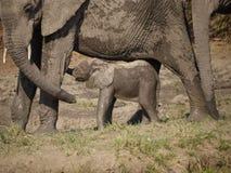 新出生的非洲灌木大象小牛 图库摄影