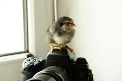 黑新出生的鸡在照相机,在窗口附近 他看照相机 照片 免版税图库摄影