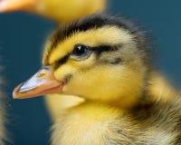 新出生的鸭子画象  免版税图库摄影