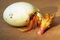 新出生的鸭子 免版税库存图片