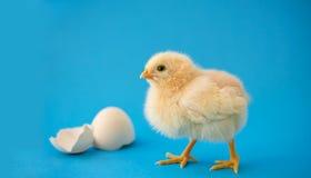 新出生的黄色鸡和残破的鸡蛋 库存图片
