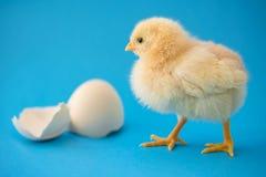 新出生的黄色鸡和残破的鸡蛋 免版税库存照片