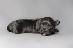 新出生的Bichon Havenese小狗 库存图片