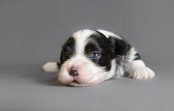 新出生的Bichon Havenese小狗 免版税库存图片