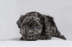 新出生的Bichon Havenese小狗 库存照片
