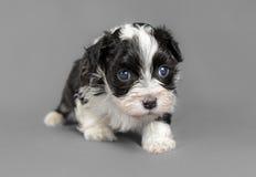 新出生的Bichon Havenese小狗 免版税图库摄影