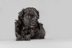 新出生的Bichon Havenese小狗 免版税库存照片