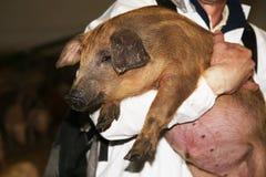 新出生的mangalica小猪照片在动物农场的 免版税库存图片