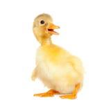 新出生逗人喜爱的鸭子 库存图片