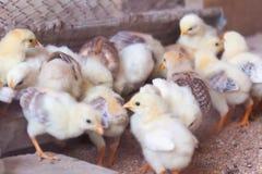 新出生chiken 一个小组在一个家庭农场的小的生物鸡 鸡哺养 免版税库存图片