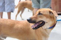 新加坡杂种动物狗 免版税库存图片