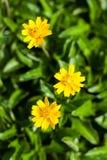 新加坡雏菊在泰国 库存照片